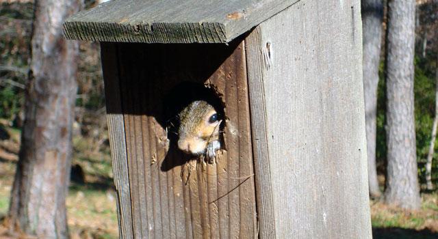 Squirrel in a bluebird box at Woodlands Garden