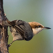 Brown-headed-Nuthatch 216